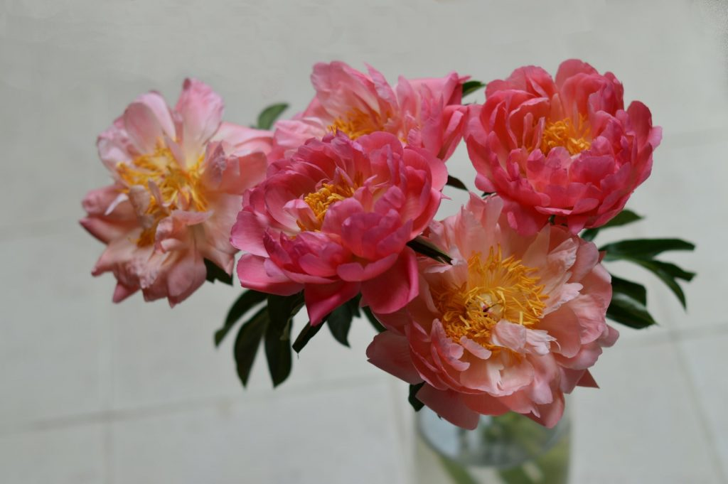 How to Care for Peony Flowers