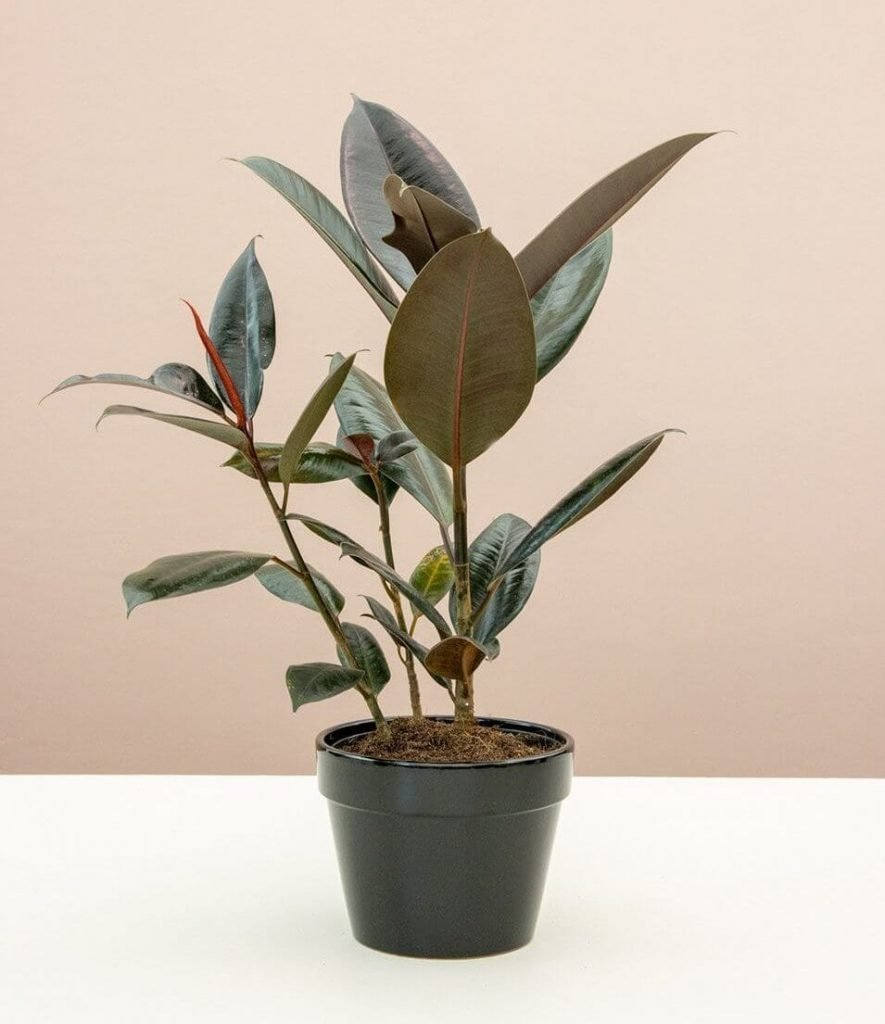 How to Care for Rubber Tree Plants