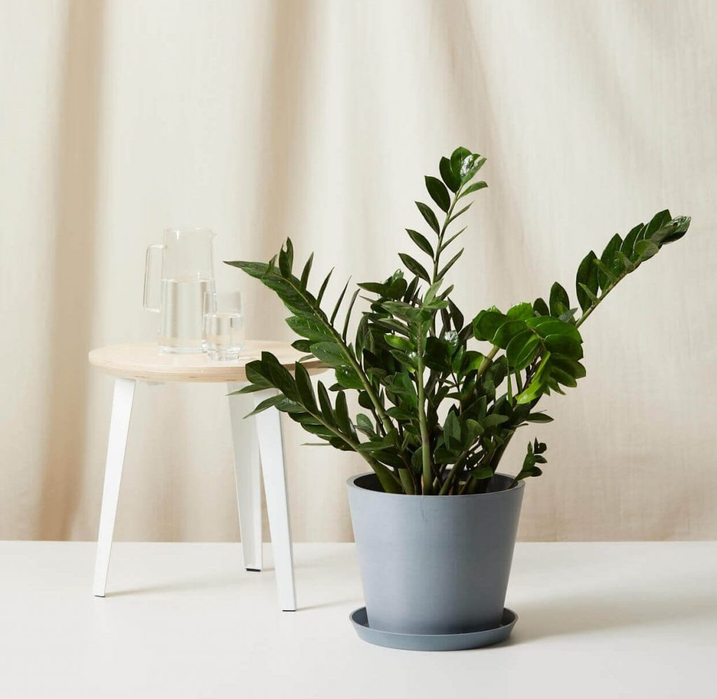 How to Care for ZZ Plants - Bloomscape