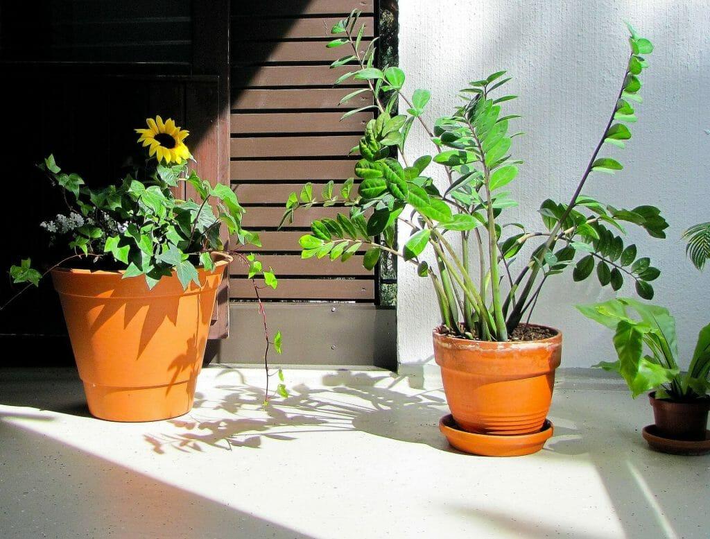 How to Grow ZZ Plants