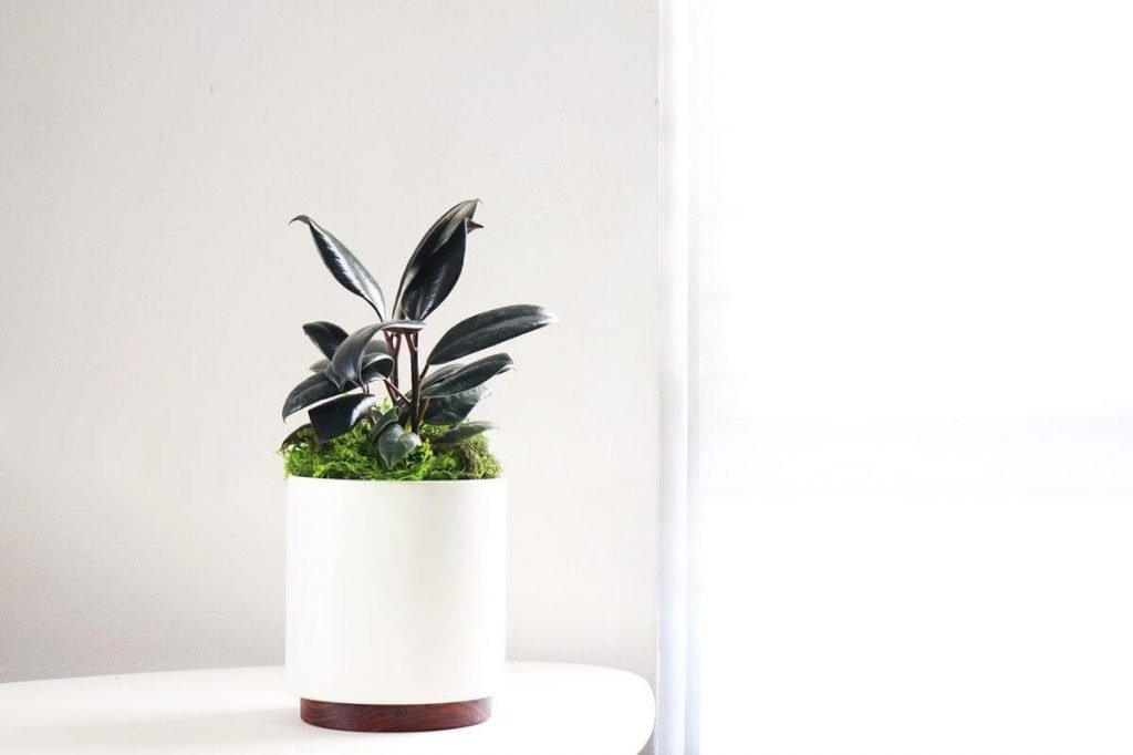How to Repot Rubber Tree Plants - Leon and George