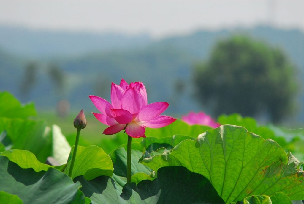 How to grow Lotus Flowers