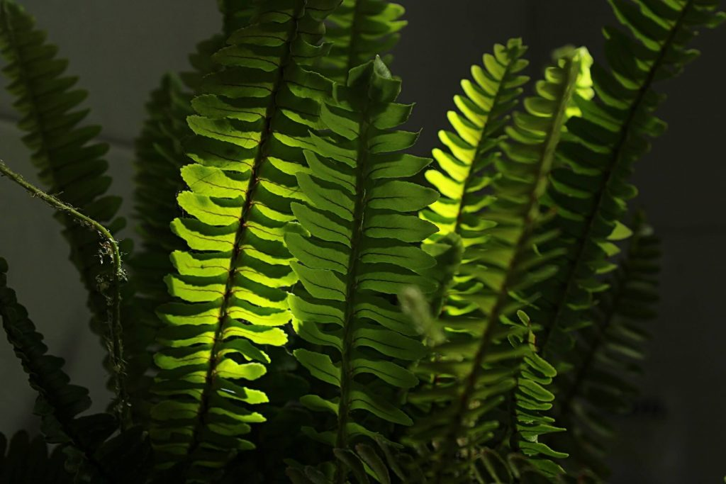 Indoor Ferns Pests and Diseases