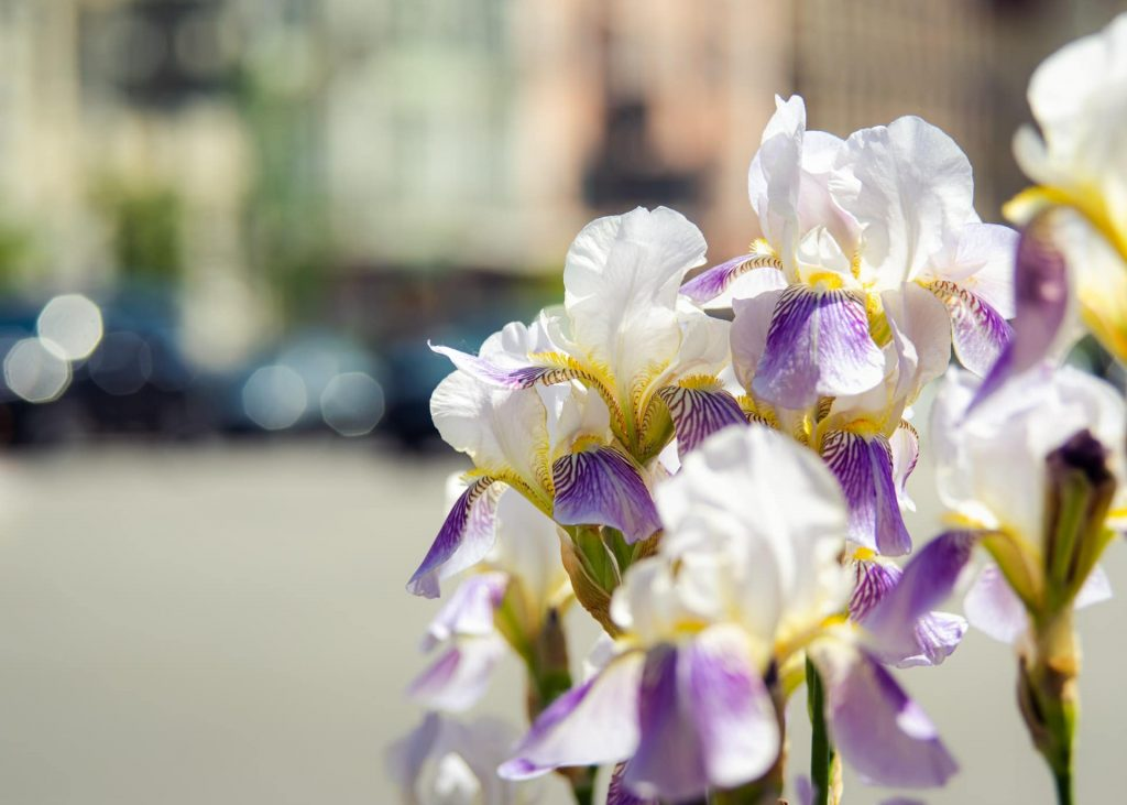 Iris Flower Symbolism - How to pick the best iris flowers for every gifting occasion