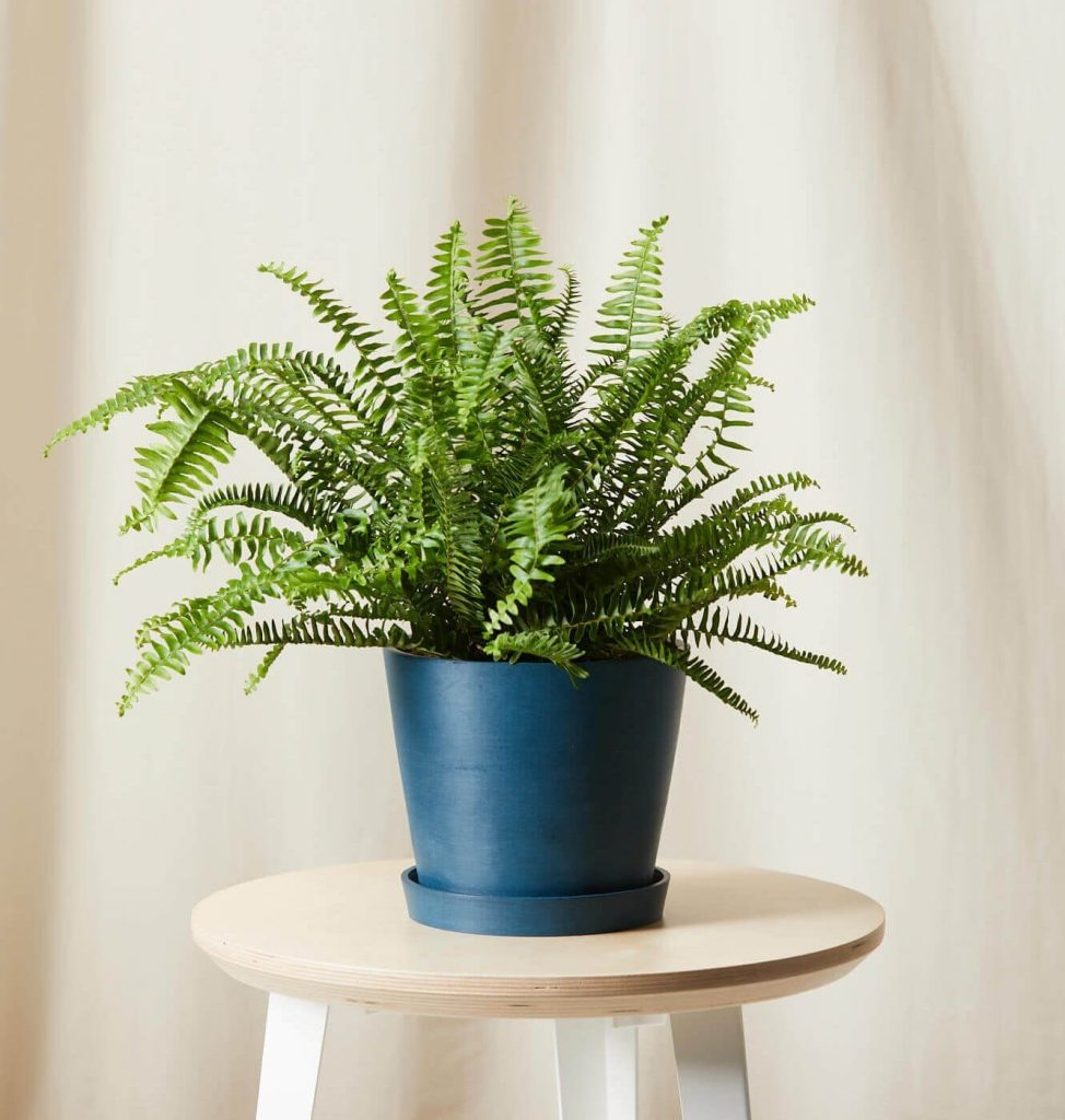 Kimberly Queen Fern at Bloomscape