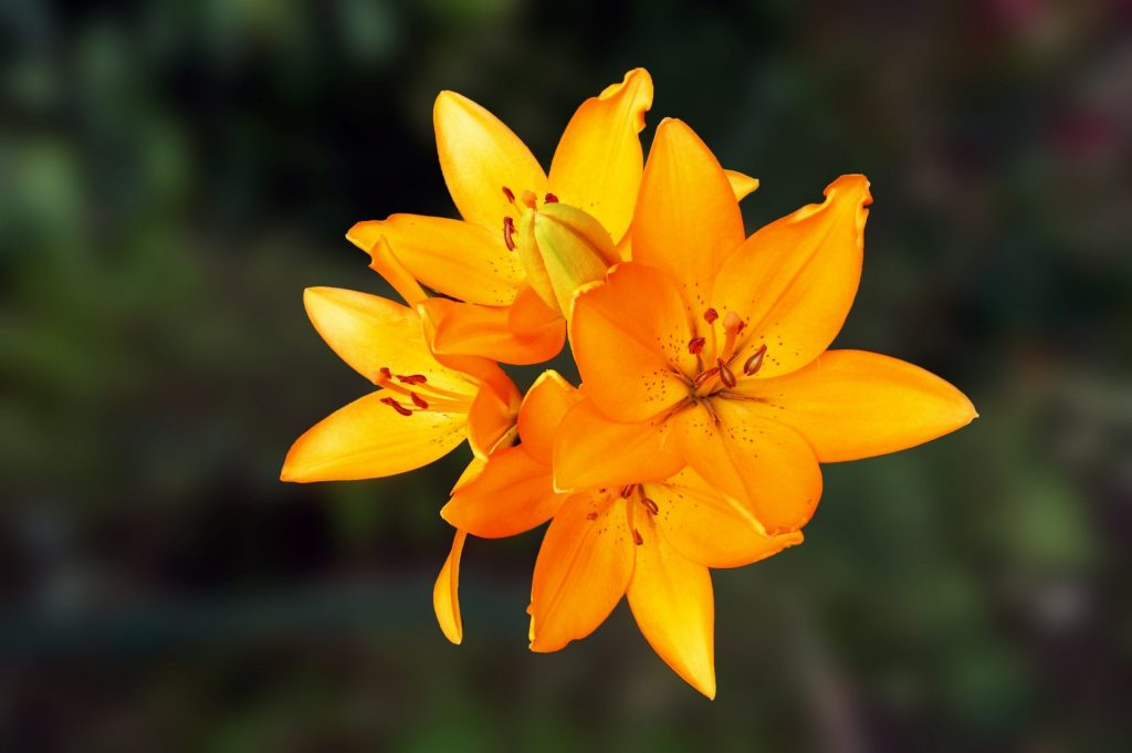 Lily Flower Meaning and Symbolism
