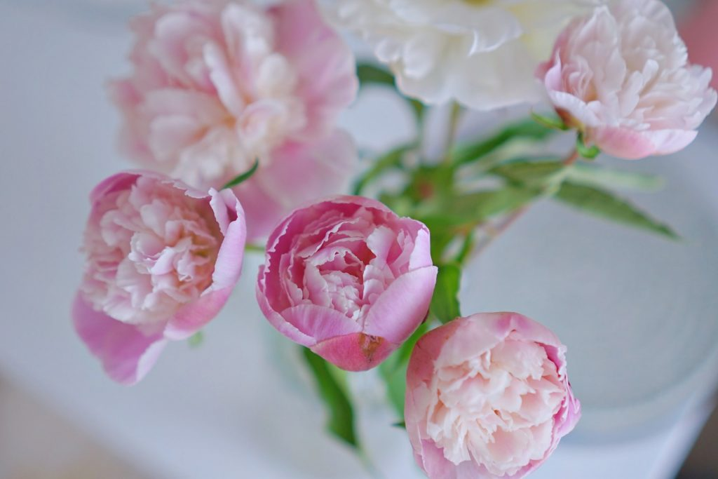 Peony Flower Meaning and Symbolism
