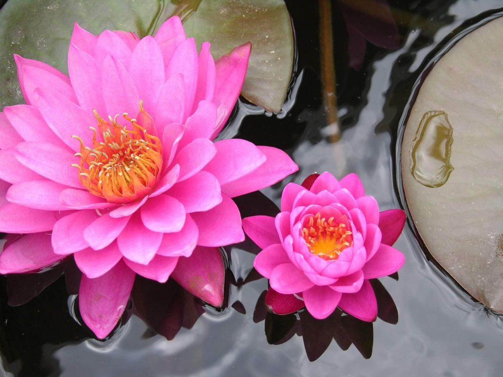 Ultimate Guide To Lotus Flower Meanings And Symbolism Petal Republic