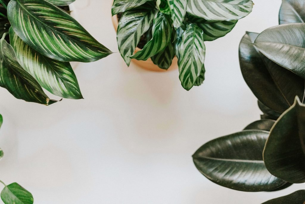 Popular Types of Prayer Plant