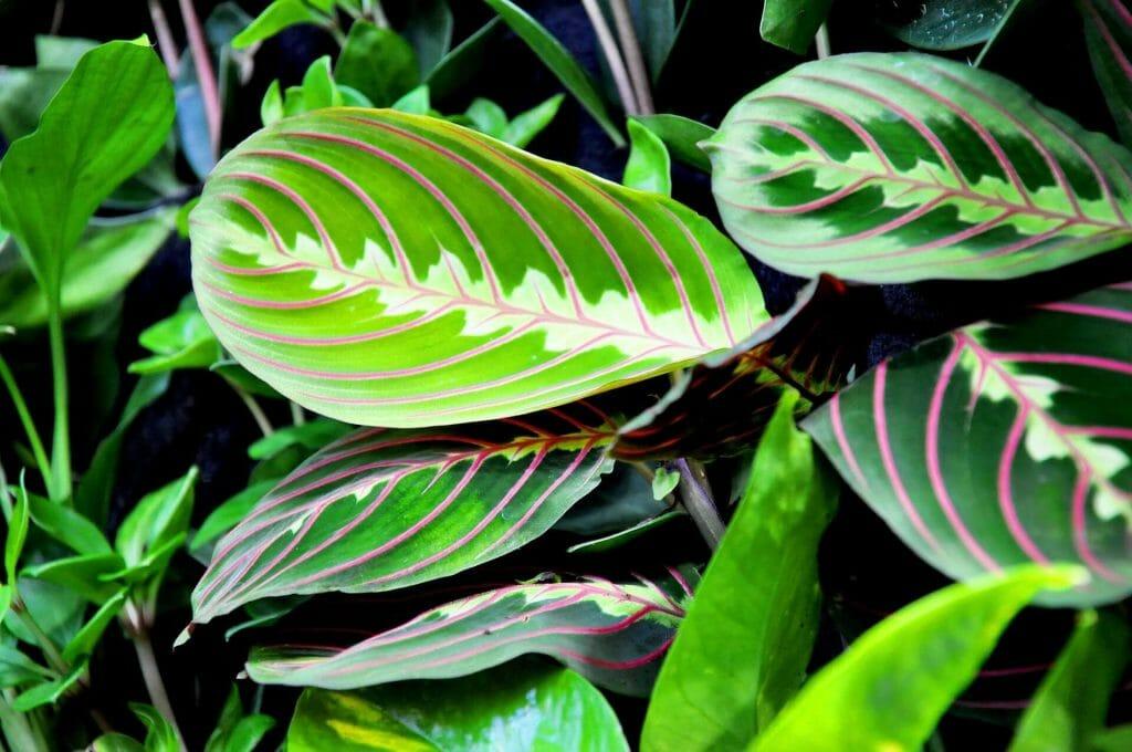 Prayer Plant Origins, Family, and Species
