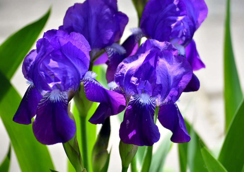 Purple Iris Flower Meaning and Symbolism
