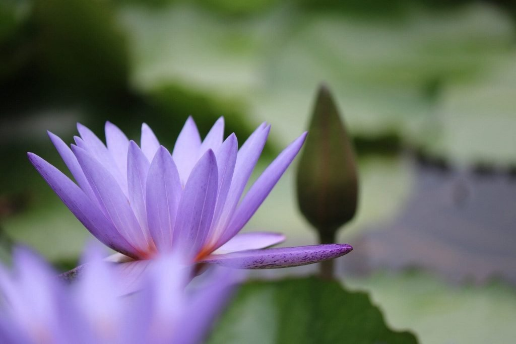 Purple Lotus Flower Meanings and Symbolism