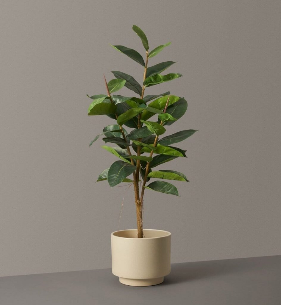 Rubber Tree Plant Toxicity