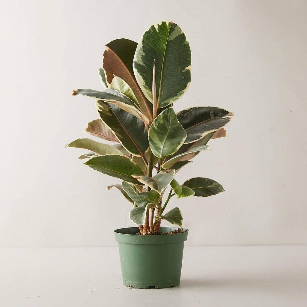 Rubber Tree Plants Meaning and Symbolism