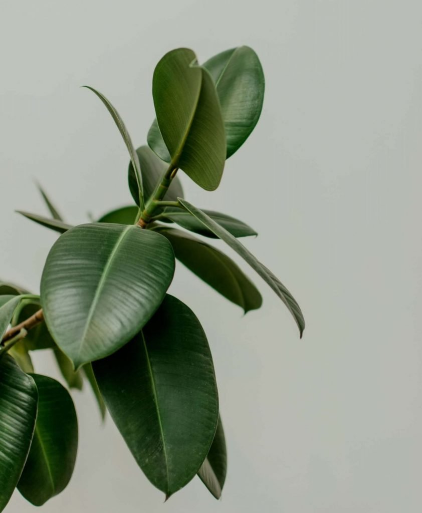 Rubber Tree Plants Origins, History and Scientific Facts