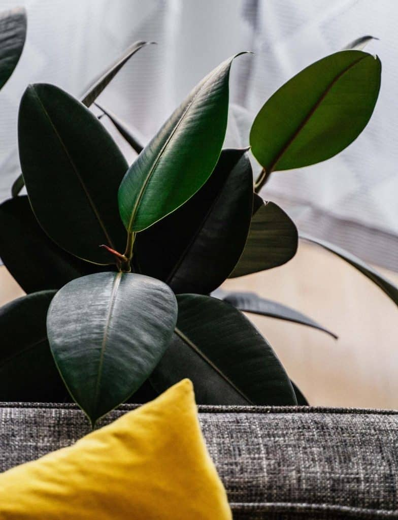 The Benefits of Rubber Tree Plants