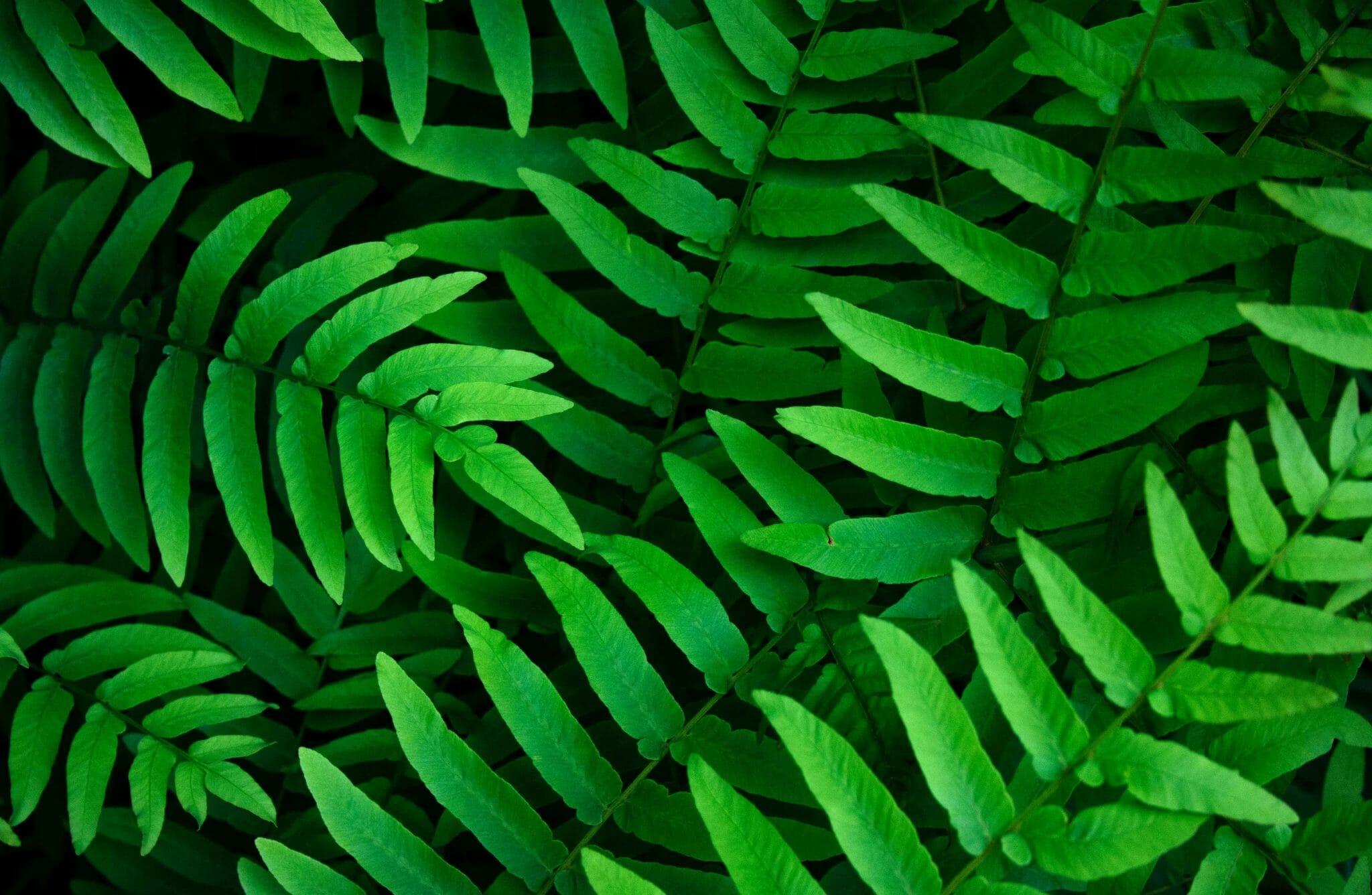 The Best Indoor Ferns