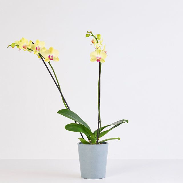 The Bouqs Yellow Orchid Delivery in Los Angeles