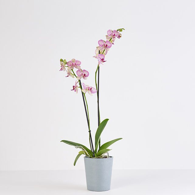 The Bouqs Pink Orchid Delivery in Los Angeles