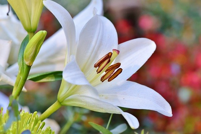 The Lily Flower