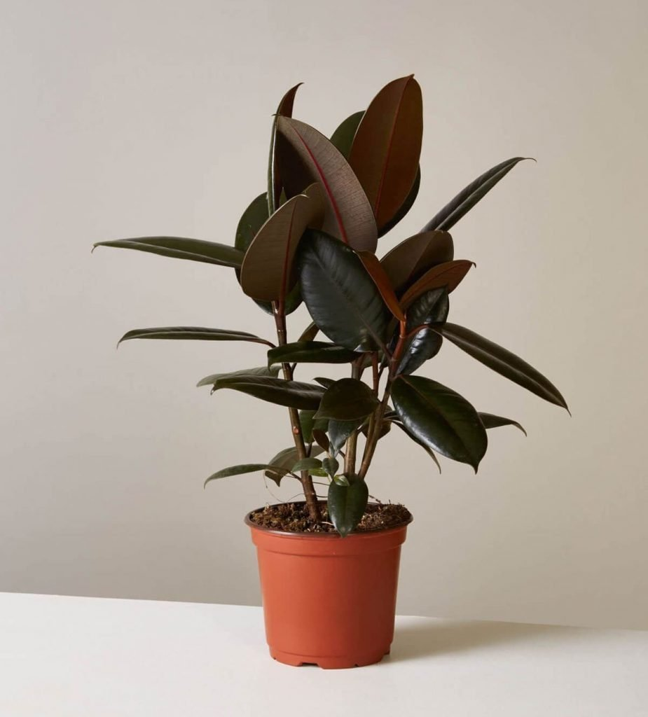 The Most Popular Types of Rubber Tree Plants
