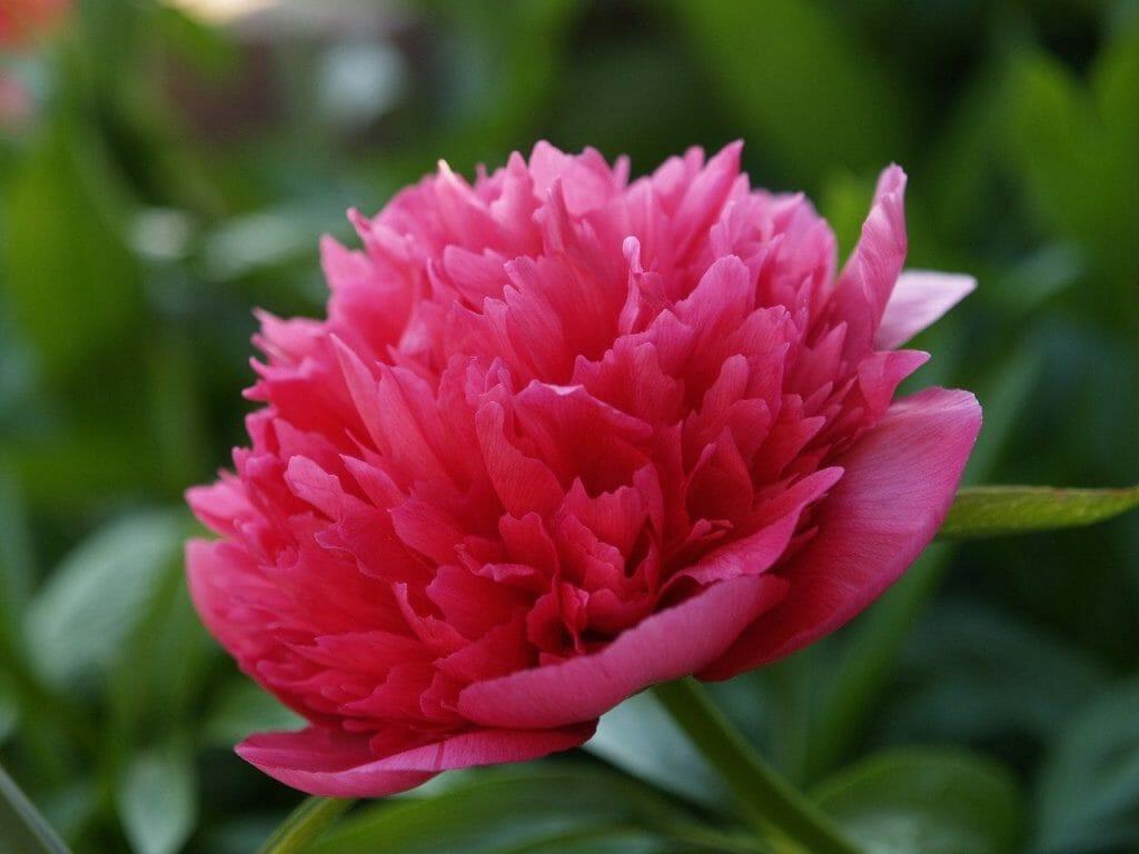The Peony Flower