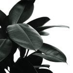 The Ultimate Guide to Rubber Tree Plants