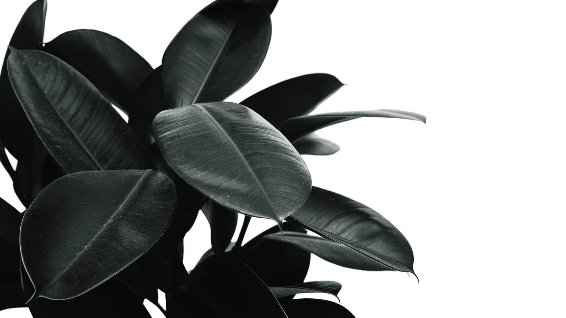 Rubber tree plants, or Ficus elastica, are an attractive and low-maintenance option for indoor plant lovers. The tree's vibrant and leathery le