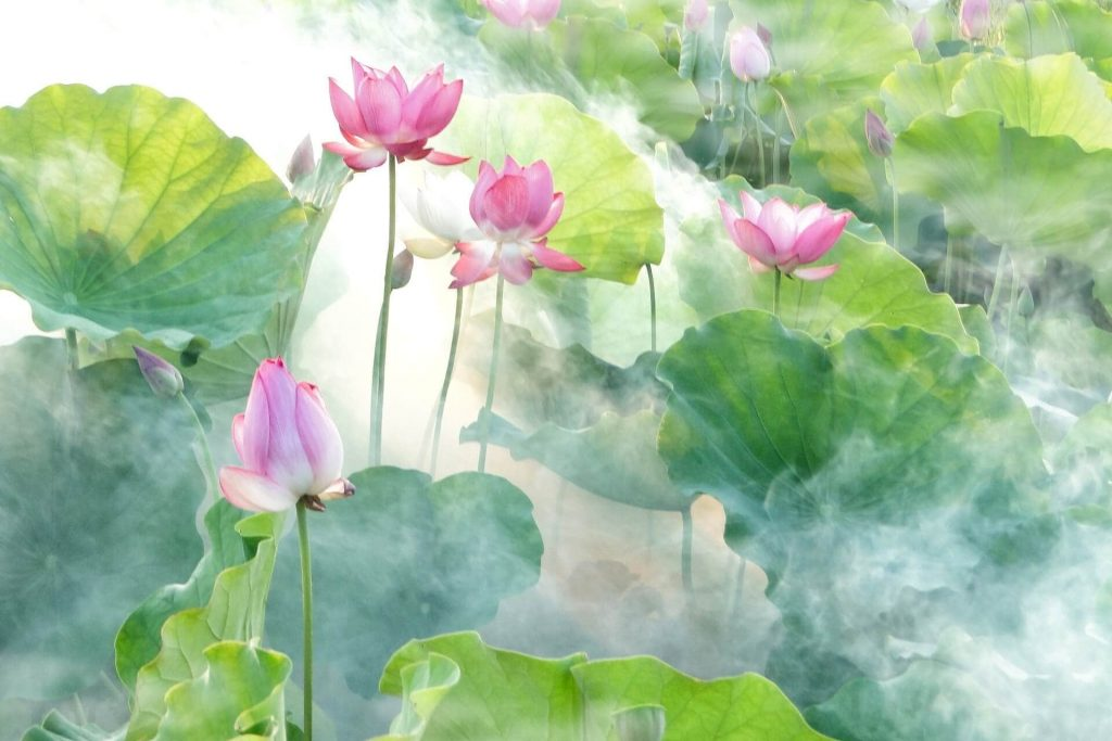 The meanings and symbolism of lotus flowers in cultures