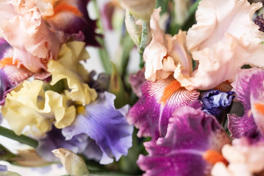 Tips to consider when buying iris flowers
