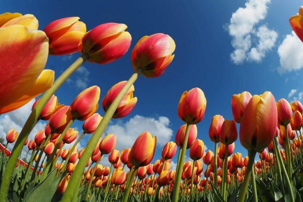 Tulip Flower History and Origins
