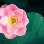 Ultimate Guide to Lotus Flowers Meaning and Symbolism