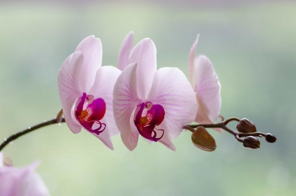 Ultimate Guide to Orchid Flower Meaning and Symbolism