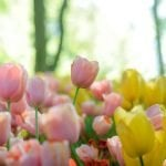 Ultimate Guide to Tulip Flower Meaning and Symbolism