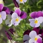 Ultimate Guide to Violet Flower Meanings & Symbolism