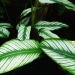 Where to Buy Prayer Plants Online in the USA