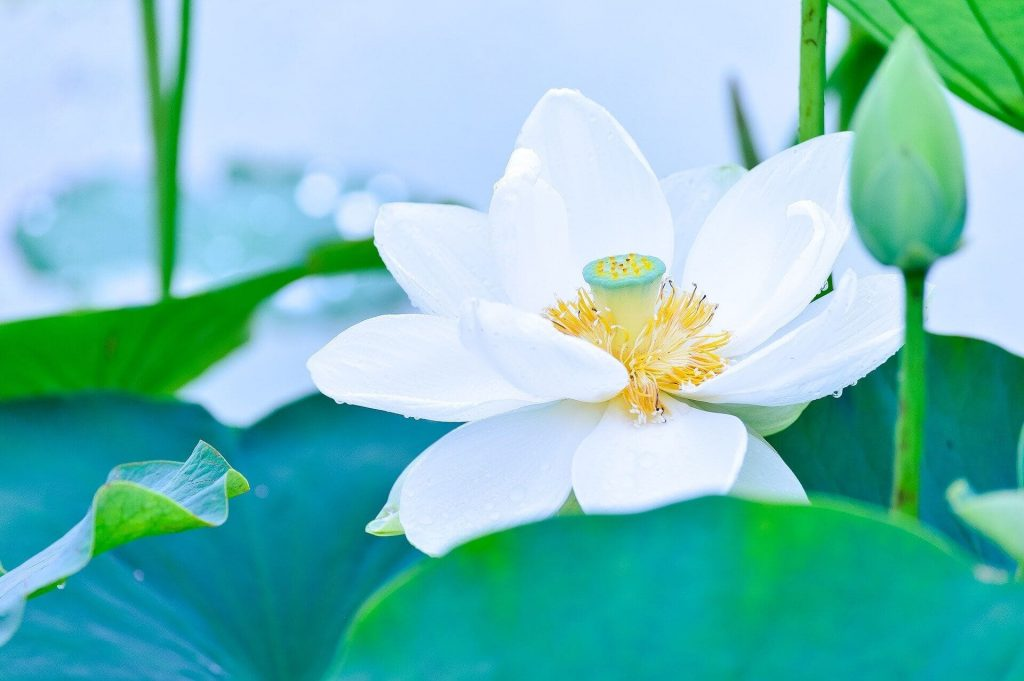 White Lotus Flowers Meanings and Symbolism