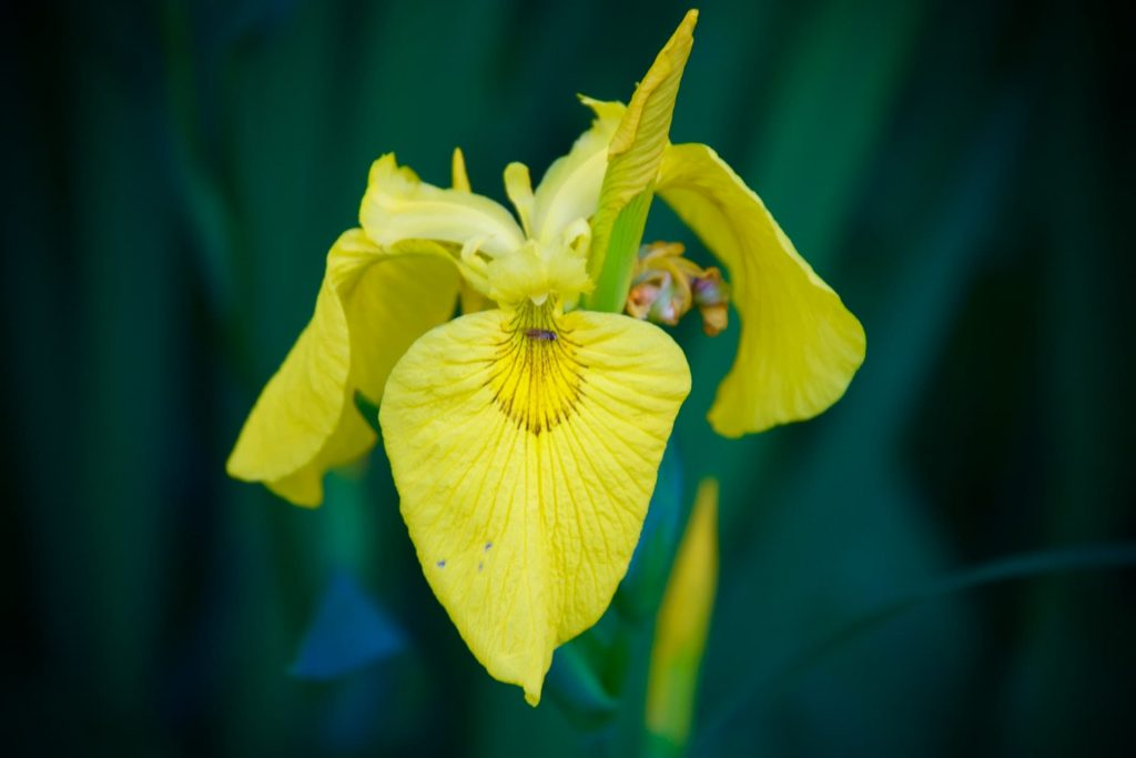 Yellow Iris Flower Meaning and Symbolism