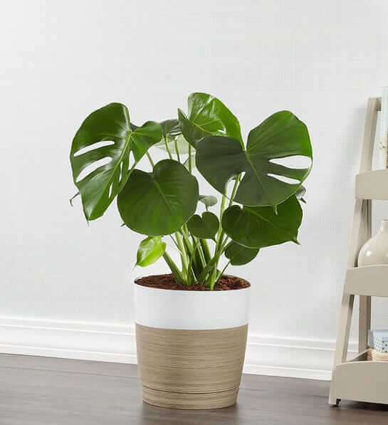 1800 Flowers Monstera Deliciosa Same Day Delivery USA Nationwide