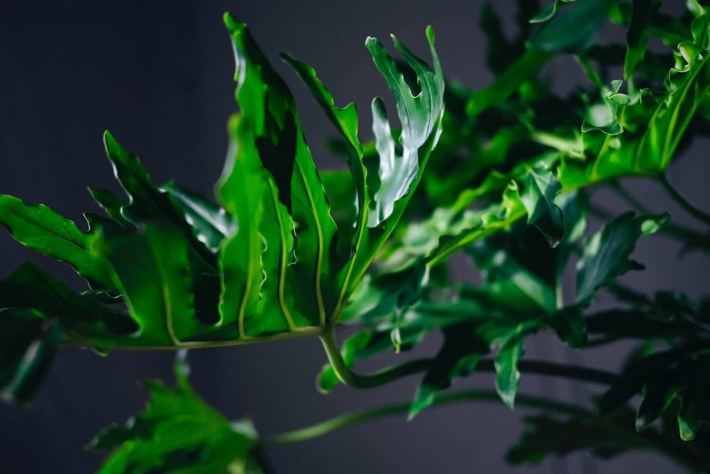 About Split Leaf Philodendron
