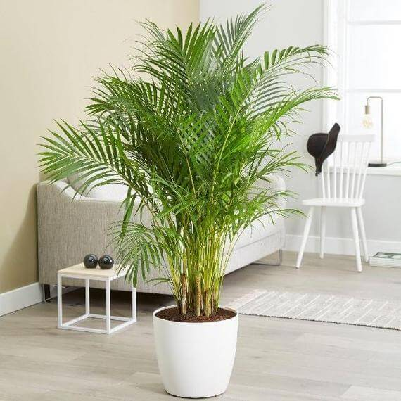 Areca Palm Tree delivery at Garden Goods Direct