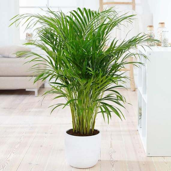 Bamboo Palm Trees for Sale at Garden Goods Direct