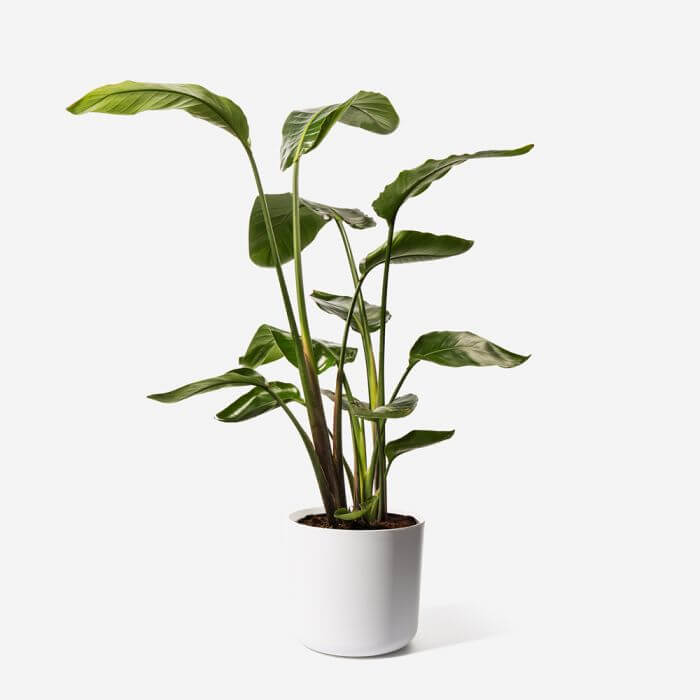 Bird of Paradise Plants for Sale at FLOWERBX