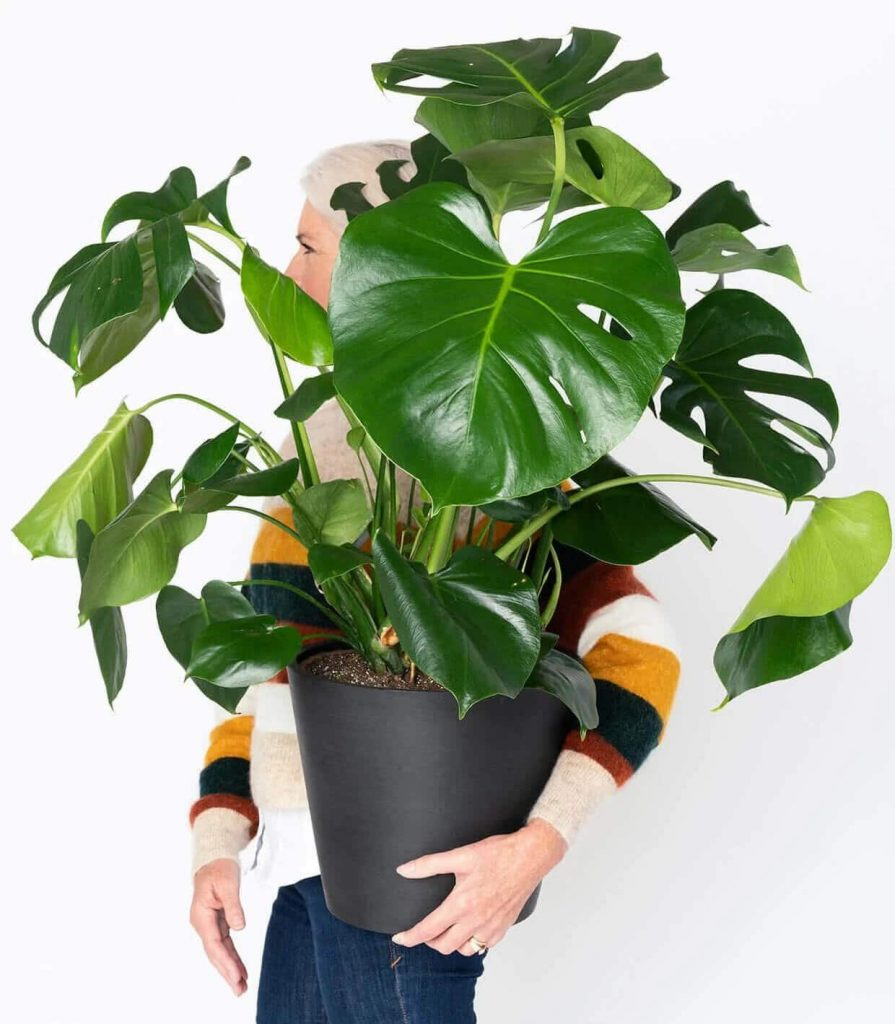 Bloomscape-Monstera-Plant-Delivery-USA