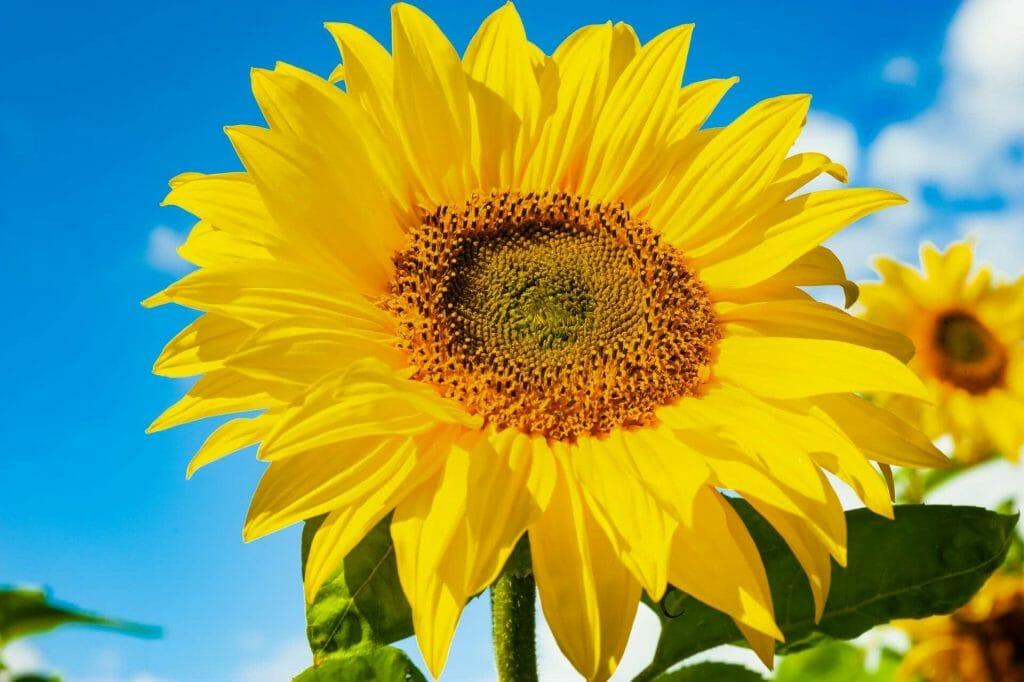 Botanical Characteristics of Sunflowers