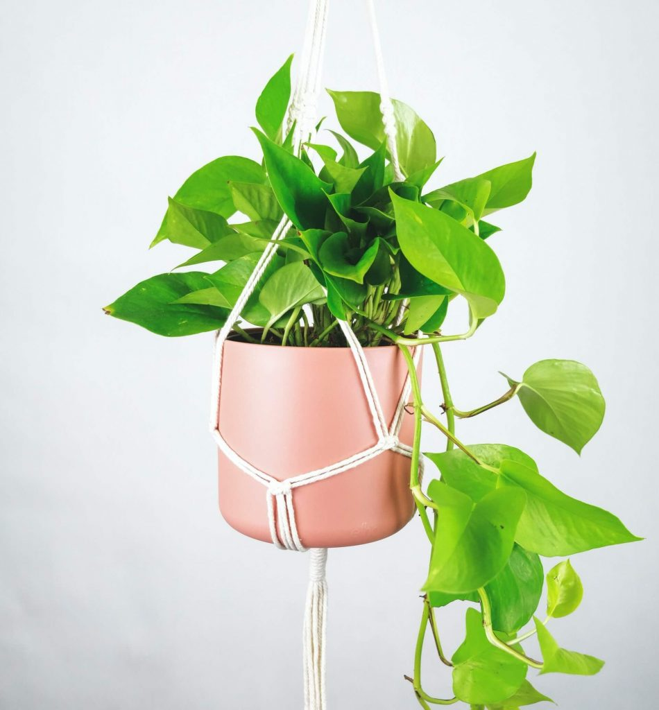 Caring for Pothos Plants