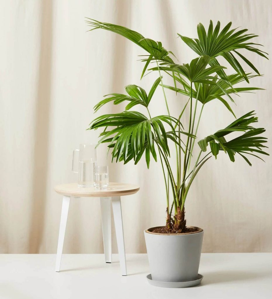 Chinese Fan Palm from Bloomscape