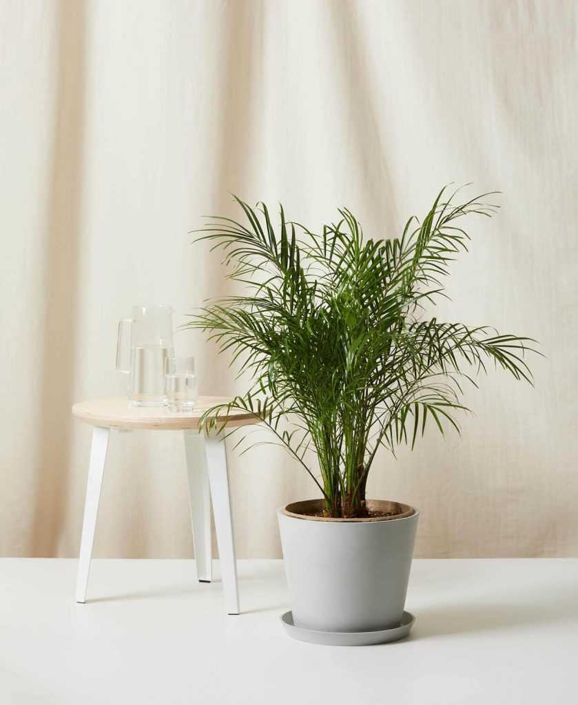 Date Palm Trees for Sale at Bloomscape