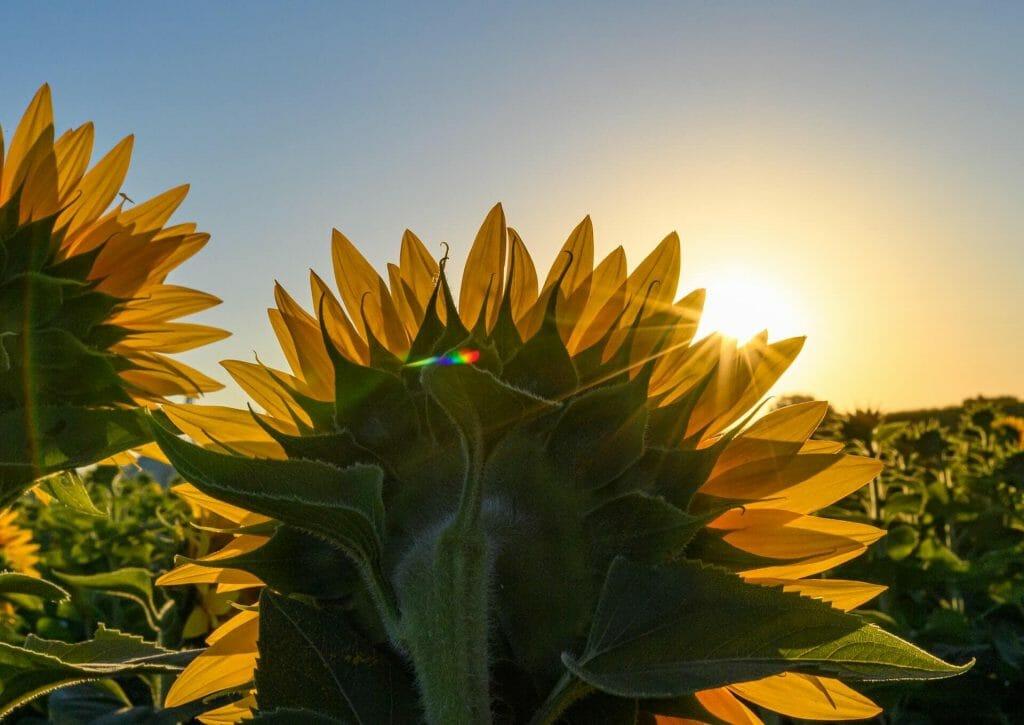 Do Sunflowers Really Follow the sun