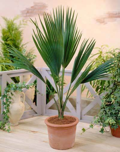 European Fan Palm Trees for Sale at Brighter Blooms